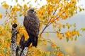 Picture autumn, bird, Swainson's Hawk