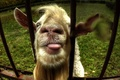 Picture goat, the fence, face