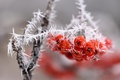 Picture macro, branch, snow, ice, red, berries, frost, bunch