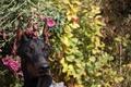 Picture flowers, dog, Doberman, dog, Shelby Cobra iz Zoosfery, doberman, Shelby Cobra of Zoosfery