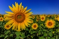 Picture sunflower, the sky, petals, field, leaves