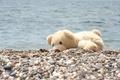 Picture sea, animal, mood, joy, shore, pebbles, bear