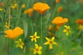 Picture flowers, field, grass, Mac, meadow