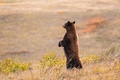 Picture field, bear, meadow, stand