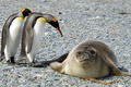 Picture animals, snow, nature, penguins, frost, seal, birds, Antarctica, ice