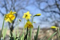 Picture Narcissus, the sky, petals, spring, plant
