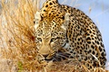 Picture grass, predator, leopard, wild cat