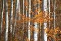 Picture autumn, forest, leaves, Colorado, USA, aspen, Aspen