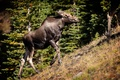 Picture hill, moose, slope, the rise