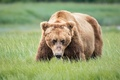 Picture bear, face, attention, grizzly