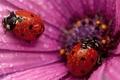 Picture flower, drops, ladybug, petals