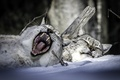 Picture winter, snow, stay, sleep, mouth, lynx, a couple, yawn