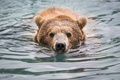 Picture face, swim, nose, bear, bathing, grizzly