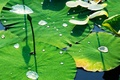 Picture water, Lily, drops, leaves