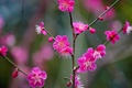 Picture flowers, branch, Apricot Japanese, flowering