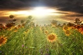 Picture Wallpaper, Field, Sunflowers, Skies