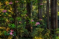 Picture flowers, greens, summer, rhododendron, trees, the bushes, forest
