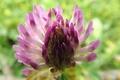 Picture Clover, blur, flower