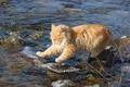 Picture water, fearless, researcher, red, stones, cat