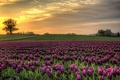 Picture field, nature, Denmark, the sky, tulips, sunset