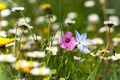 Picture flowers, nature, plants, glade, blur, chamomile, greens, summer, grass