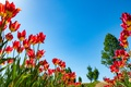 Picture nature, tulips, petals, the sky, spring