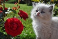Picture flowers, roses, kitty