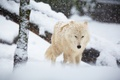 Picture wolf, snow, winter