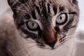 Picture eyes, cat, animal