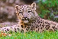 Picture lies, snow leopard, IRBIS, snow leopard, kitty, face, looks