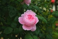 Picture Bush, Bud, rose, pink