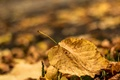 Picture autumn, leaves, macro, background, widescreen, Wallpaper, blur, leaf, wallpaper, leaf, widescreen, background, autumn, leaves, macro, ...