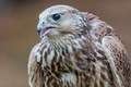 Picture The Saker, Falcon, bird