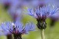 Picture flowers, macro, blue, cornflower, cornflowers, field