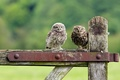 Picture birds, owls, nature