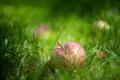 Picture grass, macro, Apple