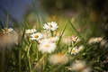 Picture flowers, background, plants, Wallpaper, glade, chamomile, field, summer, grass