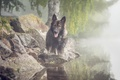 Picture dog, look, lake, fog, each