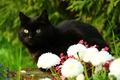 Picture cat, look, flowers, black cat