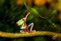 Picture friendsheep, umbrella, rain, frog, colourfull, legs, rain, wood, colorful, orange eyes, red eyes, under the ...