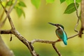 Picture tree, branch, Kingfisher, bird, leaves