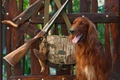 Picture dog, morning, rifle, shop, ammunition, the gun, bag, hunting, camouflage, setter, Irish, nature, beautiful background, ...