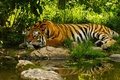 Picture Water, Tiger, Summer, Jungle, Jungle, Tiger, Water, Summer