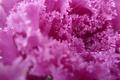 Picture Macro, Autumn, Garden, Purple, Belarus, Cabbage
