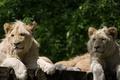 Picture pair, cat, the cubs, white lion, lion
