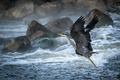 Picture Heron, the rise, beach, foam, squirt, wave, bird, stones