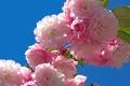 Picture macro, cherry, background, branch, Sakura, flowering, flowers