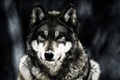 Picture animal, wolf, winter