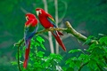 Picture feathers, branch, nature, beak, parrot, leaves, pair, tail, forest