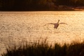Picture sunset, river, grass, glare, the evening, ruffle, bird, water, flight, mood, Swan, pond, shore, nature, ...
